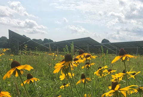 A field of sunflowers in front of rows of solar panels.