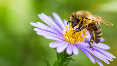 Image of bee pollinating a flower