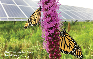 Close up on a purple flower with butterflies against a backdrop of solar panels.